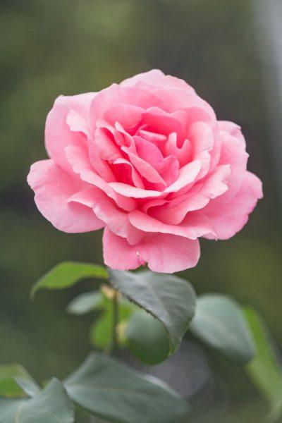 flor-flower-garden-jkakaroto-736230