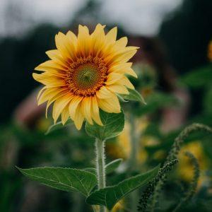 sunflower-selective-focus-photography-1366630